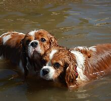The Spaniels by DelightedDogs