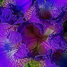 Orton Iris by TonyCrehan