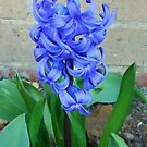 Beautiful Blue Hyacinth in Church Grounds by Kathryn Jones