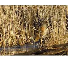 Sandhill Crane Mating Dance Head Bob Photographic Print