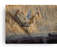Sandhill Crane Mating Dance Canvas Print