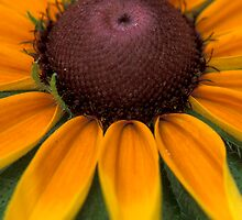Rays of  Black Eyed Susan by Bill Spengler