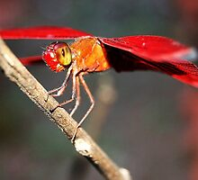 dragonfly perched under the scorching sun by noegrr