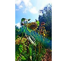The Life of a Sun Flower Photographic Print