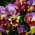 Pansy Mania by Diane Schuster