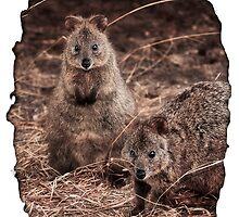 Quokkas - Western Australia by Dave Catley