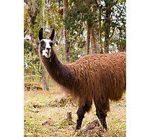 Llama animal Photographic Print