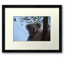 Koala up a tree B Framed Print