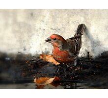 House Finch - Watering Hole Photographic Print