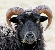 "Black Sheep ""Eye to Eye Contact""  Hebridean Sheep by mhfore"