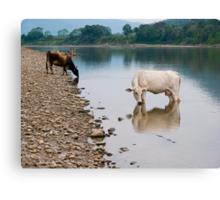 Cows, river Huallaga, Tarapoto, Peru Canvas Print