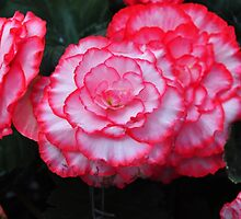 Begonia ~ white with pink edging by Leone