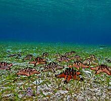 Seastars by the seagrass shore by daveharasti