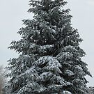 Snowy Evergreen by LeeMascarello