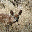 White Tail Fawn by SKNickel