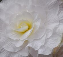 Snow White Begonia by Leone