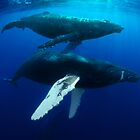 Humpback whales by Carlos Villoch