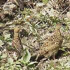 Alaska's state bird the Willow Ptarmigan in the summer by Crafter67