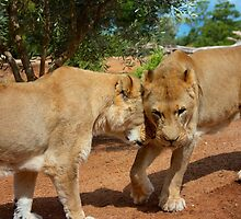 Lionesses by Benjamin Smith