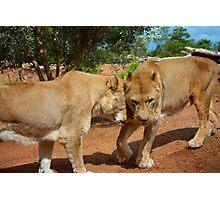 Lionesses Photographic Print