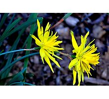 Spiky Daffodils.  Photographic Print