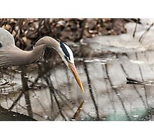 Great Blue Heron hunting Photographic Print