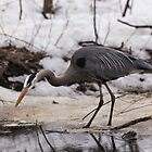 A Great Blue Heron fishing by Josef Pittner