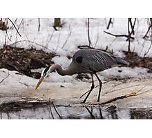 A Great Blue Heron fishing Photographic Print