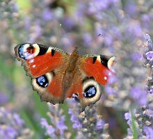 Peacock butterfly by Stefanie Köppler