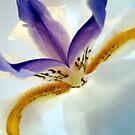 African Iris by Kathie Nichols