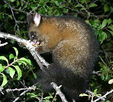Brush tail possum by Christine Beswick