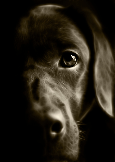 Chocolate Lab by shall