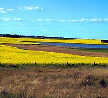 Canola somewhere between Dunkeld & Ballarat by Bev Pascoe