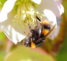 Buff-Tailed Bumble Bee (Bombus terrestris) by rumisw