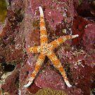 Egyptian Sea Star by Andrew Trevor-Jones