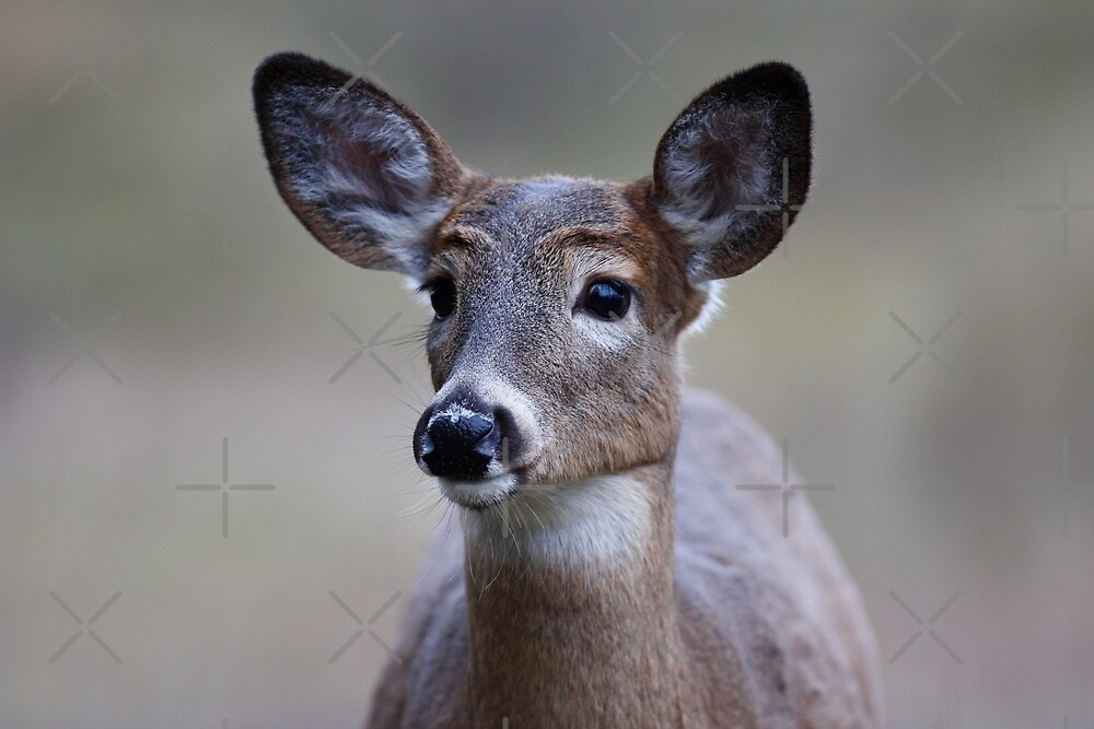 So forlorn - White-tailed Deer by Jim Cumming