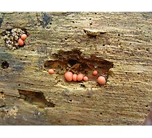 Lycogala epidendrum on dead pine Photographic Print