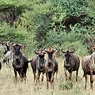 "SNORTING OF THE ""BLUE WILDEBEEST"" - MY WAKE UP CALL by Magriet Meintjes"