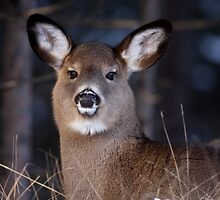 White-tailed Deer by Jim Cumming