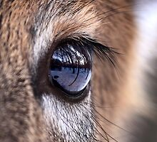 Now thats an eyefull! - White-tailed Deer by Jim Cumming