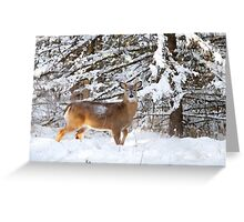 Young Buck in snow - White-tailed Buck, Ottawa Greeting Card