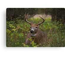 Bullet Buck Takes a Break - White-tailed Deer Canvas Print