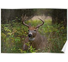 Bullet Buck Takes a Break - White-tailed Deer Poster