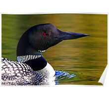Loon closeup - Common Loon Poster