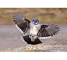 Blue Jay Lands Photographic Print