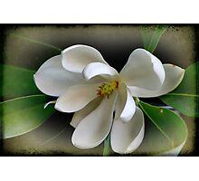 Sweet Bay Magnolia Photographic Print
