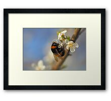 Bumble Bee On A Spring Blossom Framed Print