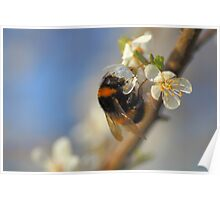 Buff-tailed Bumblebee (Bombus terrestris) On A Spring Blossom Poster