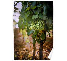Grapes on the vine at Fattorio Poggio Alloro, Tuscany Poster