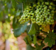 Grapes on the vine at Fattorio Poggio Alloro, Tuscany Sticker